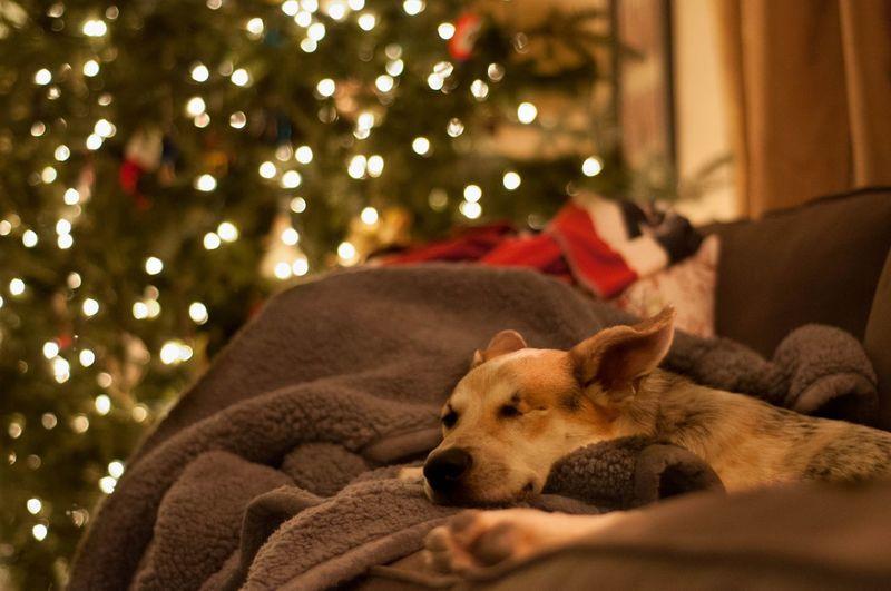 Dog sleeping on sofa