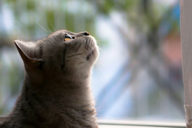 Cat Tomcat McLovin British Shorthair Window