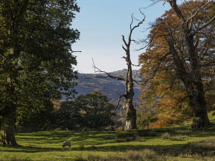 Autumnal colours in the Lake District Cumbria UK Autumn Autumn Colors Grass Landscape Mountain Nature Sheep Tree