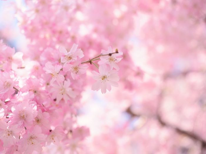 Cherry tree in full bloom Cherry Blossom Japanese  Japan Photography Sakura Blossom Flower Flowering Plant Pink Color Fragility Freshness Beauty In Nature Vulnerability  Blossom Springtime Close-up Growth Flower Head Nature