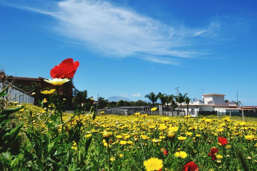 Flower Red Plant Blossom Poppy Growth Cloud - Sky Flower Head Sky Outdoors No People Day Yellow Springtime Nature Fragility Freshness Rural Scene Beauty In Nature