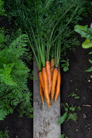 Fresh organic carrots on the ground in the garden in green leaves
