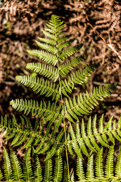 Growth Plant Nature Fern Beauty In Nature Close-up Leaf Focus On Foreground Plant Part Selective Focus Pattern Ferns Fern Leaf Fern Leaves Fern Leaves Texture Fern Leaf Pattern Autumn colors Autumn Leaves Autumn Autumn Collection Fern Frond Fern Fronds