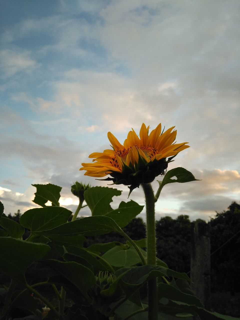 flower, nature, beauty in nature, sky, fragility, cloud - sky, growth, petal, plant, outdoors, no people, freshness, flower head, leaf, yellow, low angle view, sunflower, blooming, day, sunset, close-up