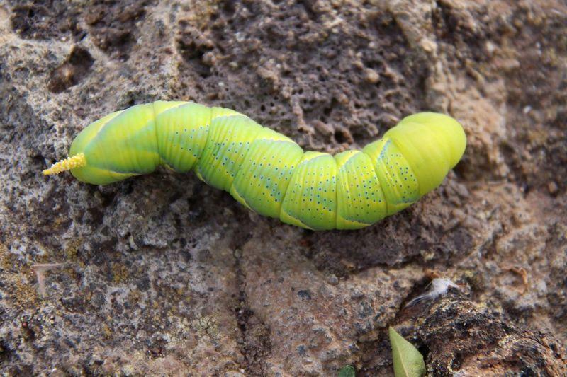 Close-up of green caterpillar on rock