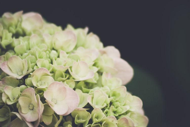 Close-up of hydrangeas flowers