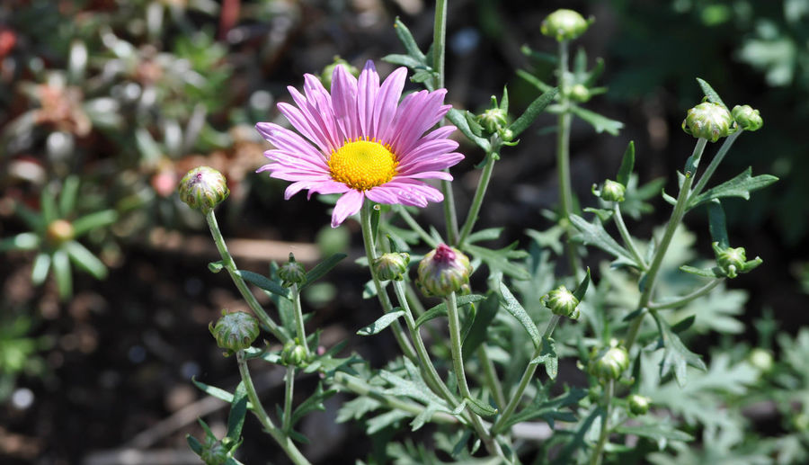 Pink African Daisy Flower in Bloom African Daisies African Daisy Beauty In Nature Blooming Close-up Flower Flower Head Fragility Freshness Growth Leaf Nature No People Outdoors Petal Plant
