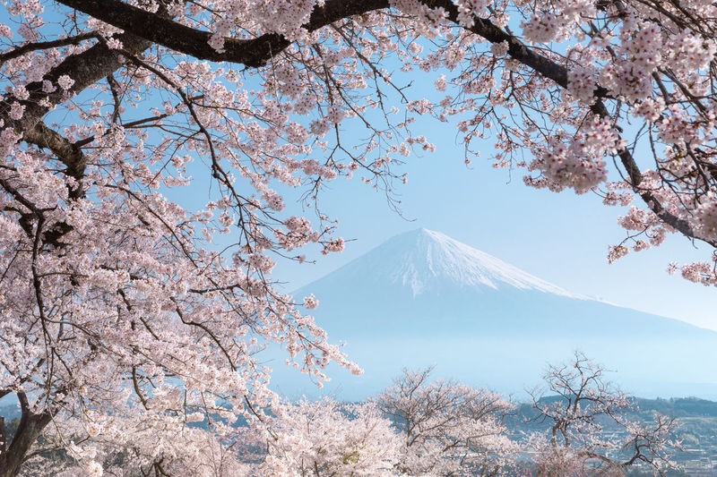 View of cherry blossom tree with mountain in background
