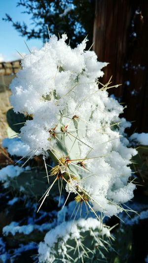 Arizona Snow Cactus Snow On A Cactus Thorns Cold Temperature Beauty In Nature No People Ouch!!