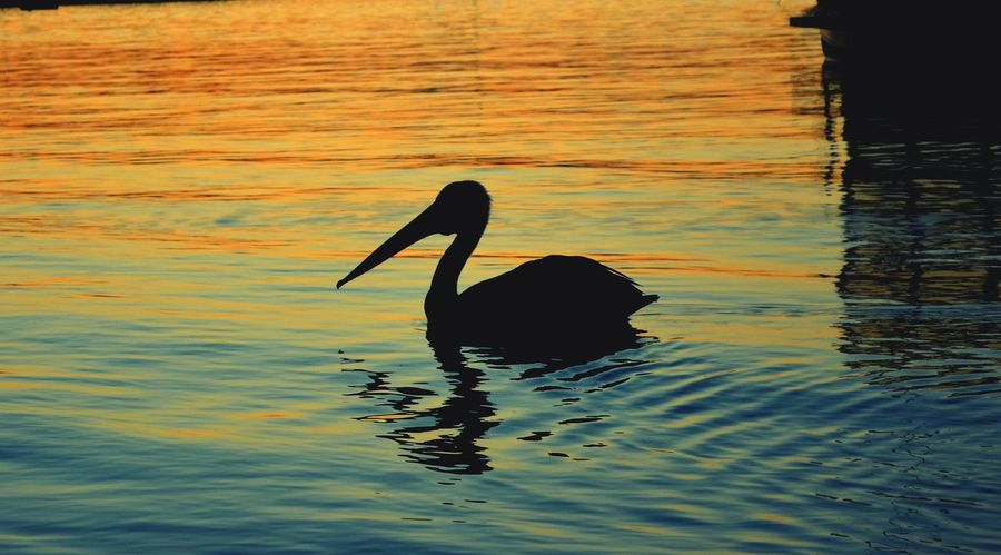 Animals In The Wild Bird Water One Animal Animal Themes Lake Animal Wildlife Swimming Sunset Outdoors No People Nature Beak Day Close-up Noosa