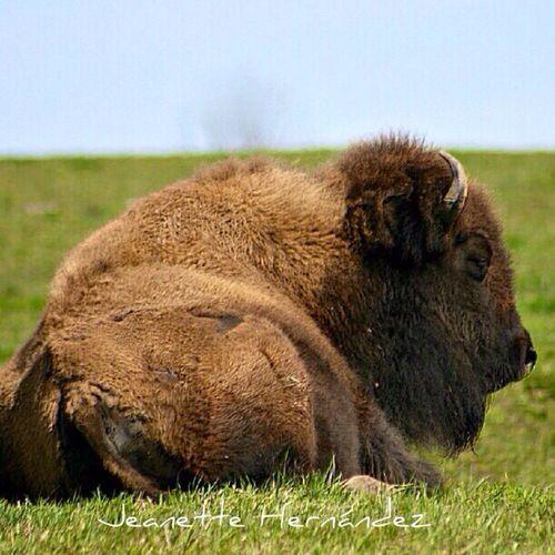 Beefalo Buffalos Streamzoofamily StreamzooPics