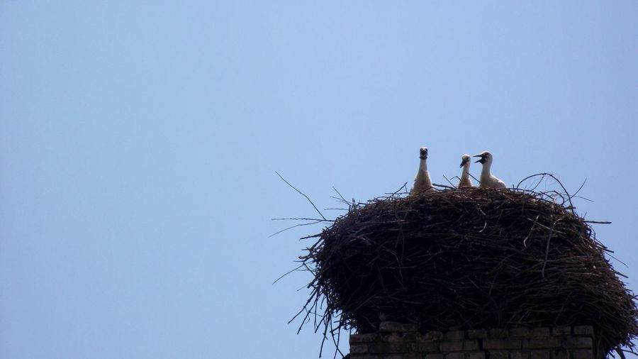 Animal Themes Animal Wildlife Animals In The Wild Architecture Bird Chick Clear Sky Day Low Angle View Nature Nest Nestling No People Outdoors Perching Sky Stork Technology Tree