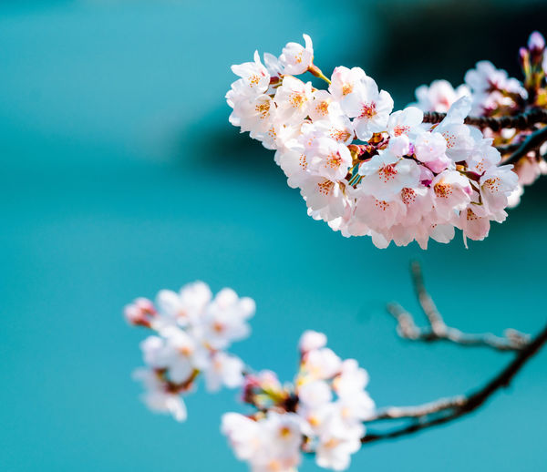 Close-up of pink cherry blossoms against blurred background of lake.