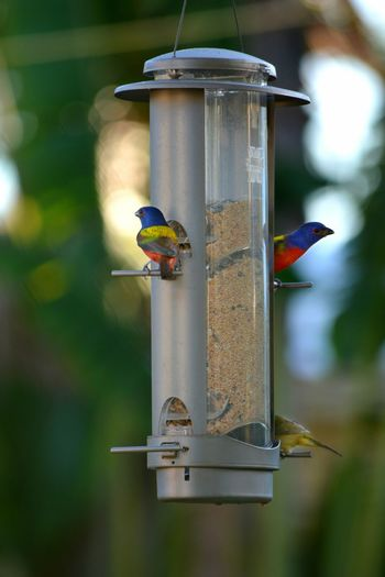 Painted Buntings at birdfeeder Bird Painted Bunting Birds Songbird  Bird Feeder Perching Focus On Foreground Animal Wildlife Animals In The Wild Wildlife In My Backyard Birds At Feeder Backyard Photography Day Animal Themes No People Outdoors Close-up Nature