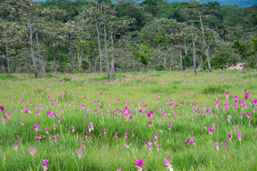 Pink field of Siam tulip at Chaiyaphum Province, Thailand. Beauty In Nature Field Flower Flowerbed Grass Green Color Growth Landscape Lush - Description Nature No People Outdoors Pink Color Plant Purple Rural Scene Scenics Siam Tulip Summer Tranquil Scene Tranquility Travel Destinations Tree Uncultivated Wildflower