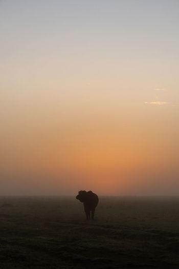 Cape buffalo silhouetted at sunrise turning head