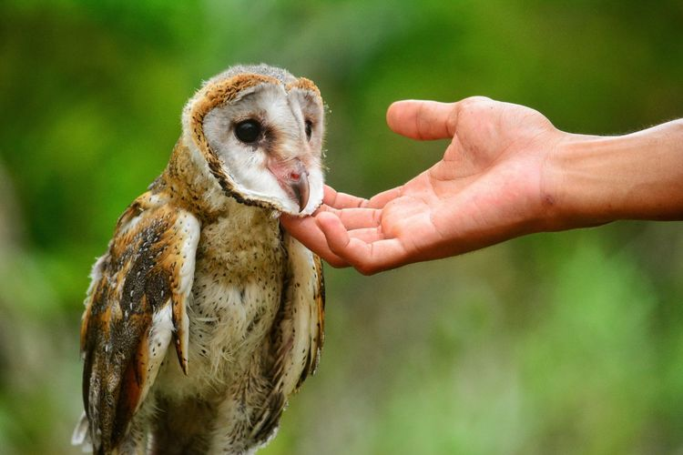 Cropped hand touching barn owl