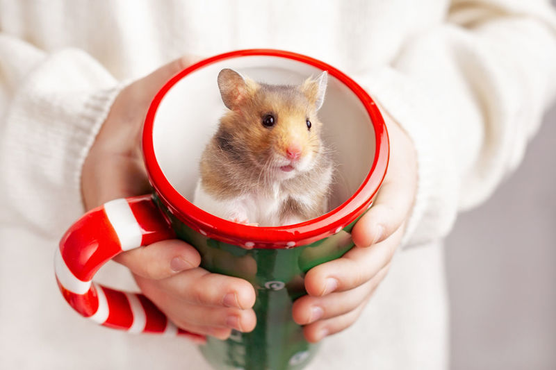 The child holds in his hands a christmas mug, in which a cute golden hamster sits.