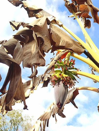 Crazy Mobile Weather Has My Banana Tree Blooming. One Week Hot One Week Cold And Wet