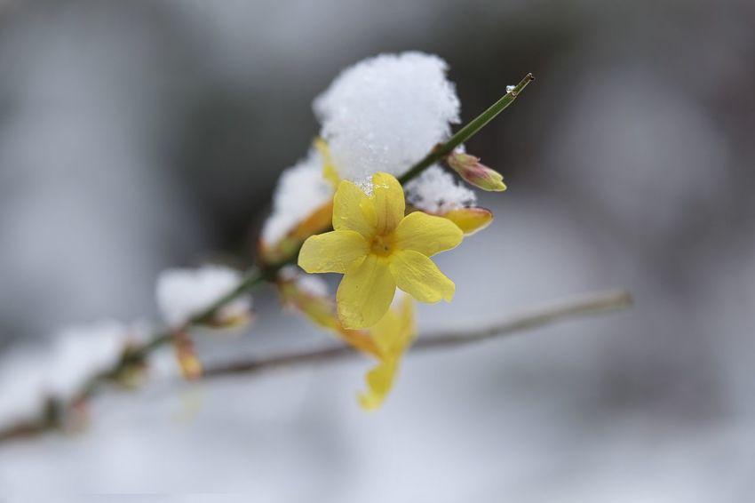 Schnee Blüte Jasmine Flower