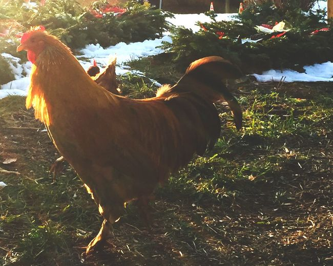 Domestic Animals Livestock Chicken - Bird One Animal Animal Themes Rooster No People
