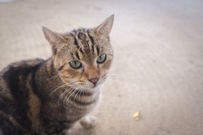 Cat🐱💕 Cat Animal One Animal Feline Animal Themes Looking At Camera Day Pets Whisker No People Portrait Sitting