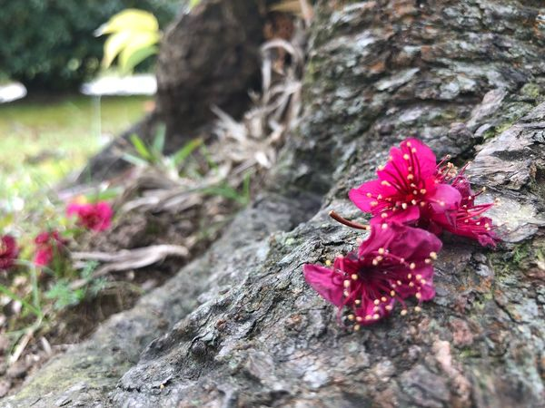 Flower Nature Pink Color Petal Fragility No People Growth Beauty In Nature Tree Hibiscus Red Tree Trunk Close-up Outdoors Freshness Flower Head Day Plant