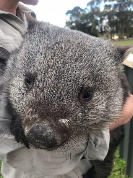 Wombat Smiling Tasmania Wombat  One Animal Hand Mammal Animal Wildlife Close-up Animals In The Wild