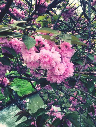 Dark Pink By Motorola Japanese  Garden #flowers #trees Taking Photos
