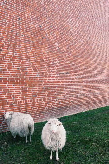 Sheep on grassy field against wall
