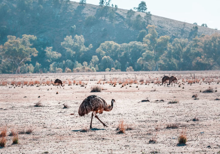 Emus on field
