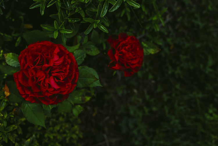 Directly above shot of red roses blooming in park
