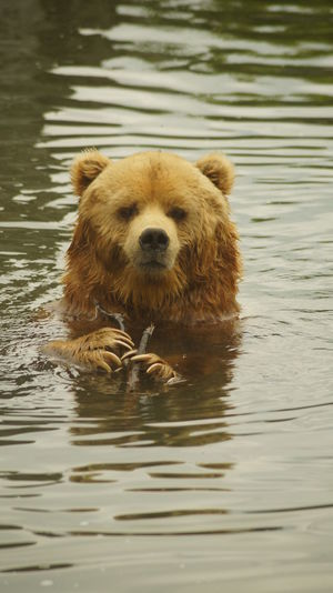 View Of Wet Bear In River