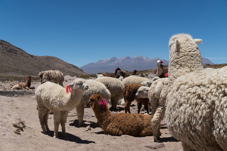 View of sheep on land against clear sky