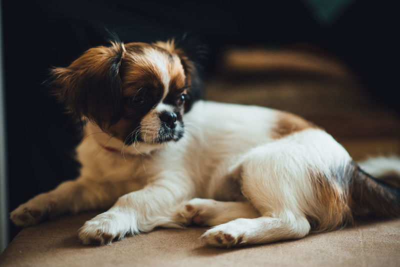 Pet Photography  Pet Portrais Pet Portraits Animal Themes Cavalier King Charles Spaniel Close-up Day Dog Domestic Animals Focus On Foreground Indoors  Lying Down Mammal No People One Animal Pets Puppy