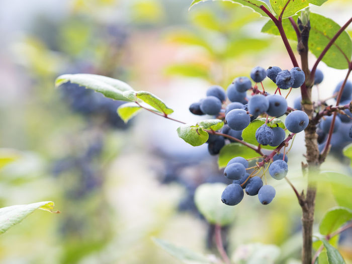 Autumn Berries Berries Bush Berries Shrub Berry Berry Bush Berry Shrub Blue Berries Bush Close Up Explore Nature Explorenature Grape Healthy Healthy Eating Healthy Food Healthylife Nature Nature_collection Naturelover Naturelovers Regional Food S Selective Focus Thuringian Nature