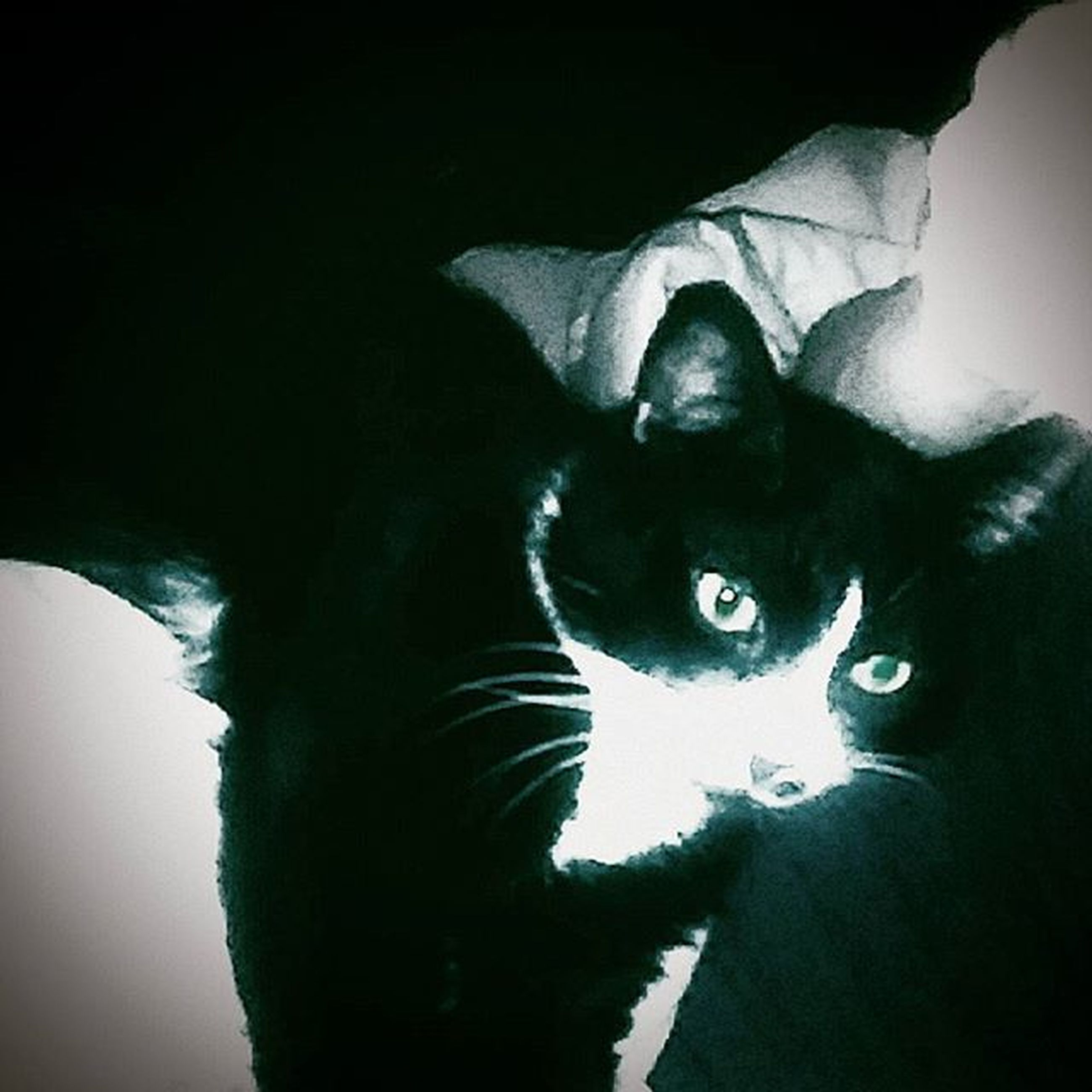 pets, domestic animals, domestic cat, one animal, cat, animal themes, mammal, indoors, feline, looking at camera, portrait, whisker, staring, black color, relaxation, animal head, home interior, close-up, alertness, no people