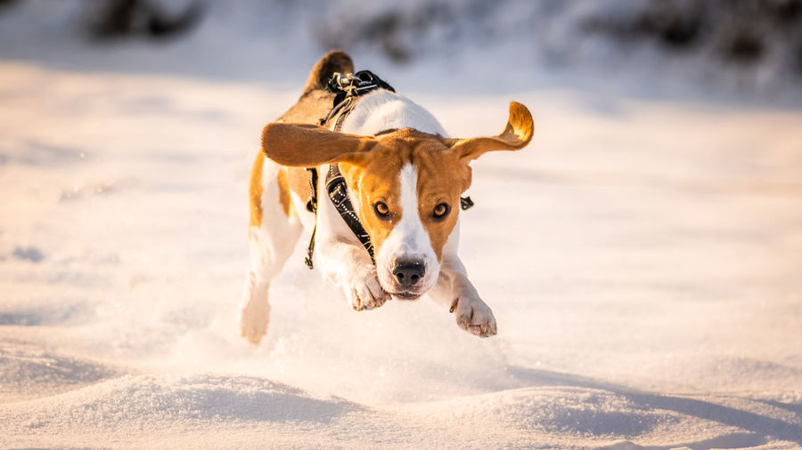 Dog running on a snow