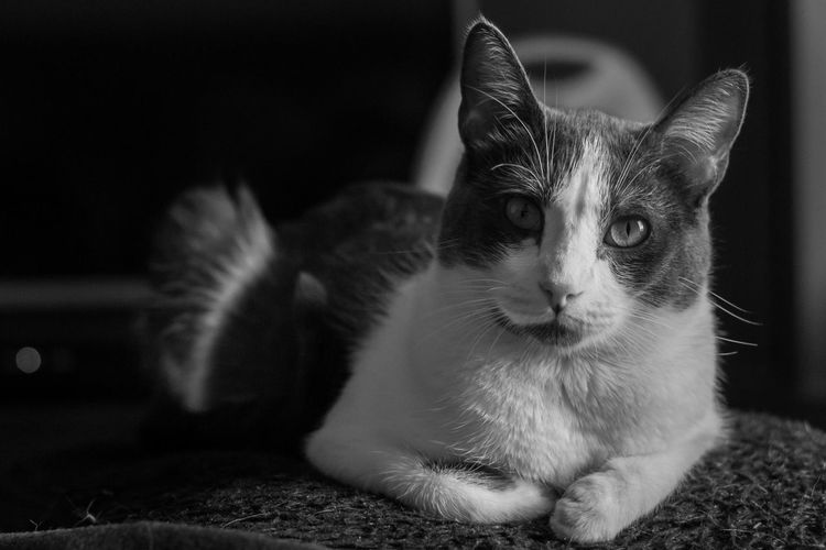 Pet Portraits Pets Domestic Animals One Animal Animal Themes Mammal Animal Domestic Cat Portrait Looking At Camera No People Feline Alertness Indoors  Close-up Day Beauty In Nature