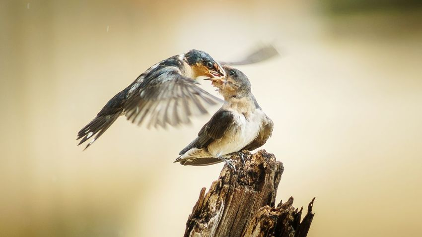 Need For Speed Birds Bird Photography Birds_collection Feeding Animals Feeding Time Sepia Flying Bird Love Mom Animal Family Family Sharing  Given Couple Protection Wildlife & Nature Taking Care Of Animals