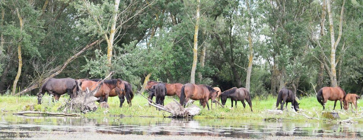 Wild Horses Delta Danube Delta ,romania Trees