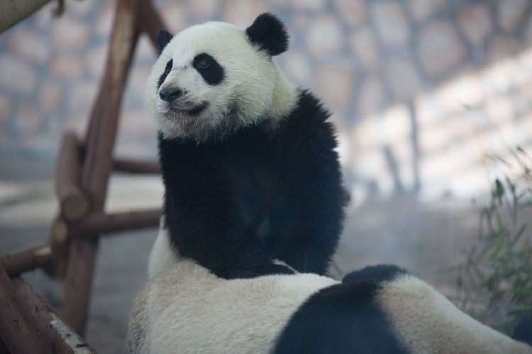 Pandas in zoo