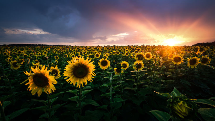 EyeEmNewHere Sunflower Beauty In Nature Blooming Day Field Flower Flower Head Fragility Freshness Growth Landscape Nature No People Outdoors Plant Scenics Sky Sonnenblume Sunflower Sunset Tranquility Yellow