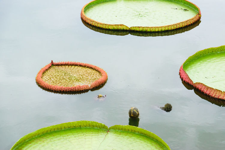 High angle view of lily pads in lake