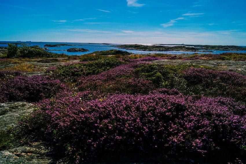 Schweden MADE IN SWEDEN Heather Schäreninsel Schäreninseln Skerry PanoramaSkerry Landscape Landscape Sea Purple Blue Grey Good Weather Sunny Sony Alpha 58