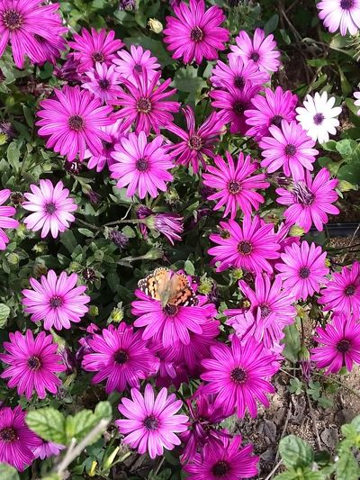 nearing the end African Daisy Beauty In Nature Blooming Nature Pink Color