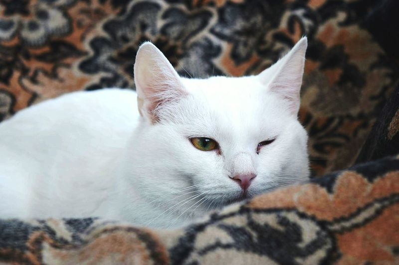 Close-Up Of White Cat Winking While Sitting Sofa At Home