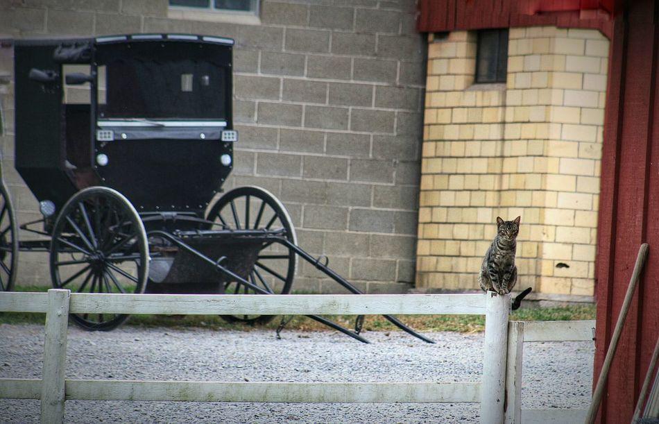 Amish Country Amish Buggy Amish Amish Town Itsawayoflife Cat Ohio, USA Simple Life America Coast To Coast Autumn🍁🍁🍁 Capture The Moment