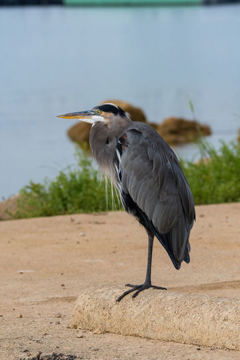 High angle view of gray heron perching on a land