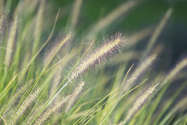 Close-up of fountain grass Nature Backgrounds Beauty In Nature Close-up Field Fountain Grass Fragility Freshness Grass Green Color Growing Growth Nature Outdoors Plant Tranquility